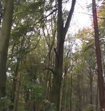 Video: Forward leaning tree. A 'Dogs Tooth' needed.