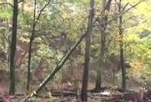 Video: Hung up tree finally falls!
